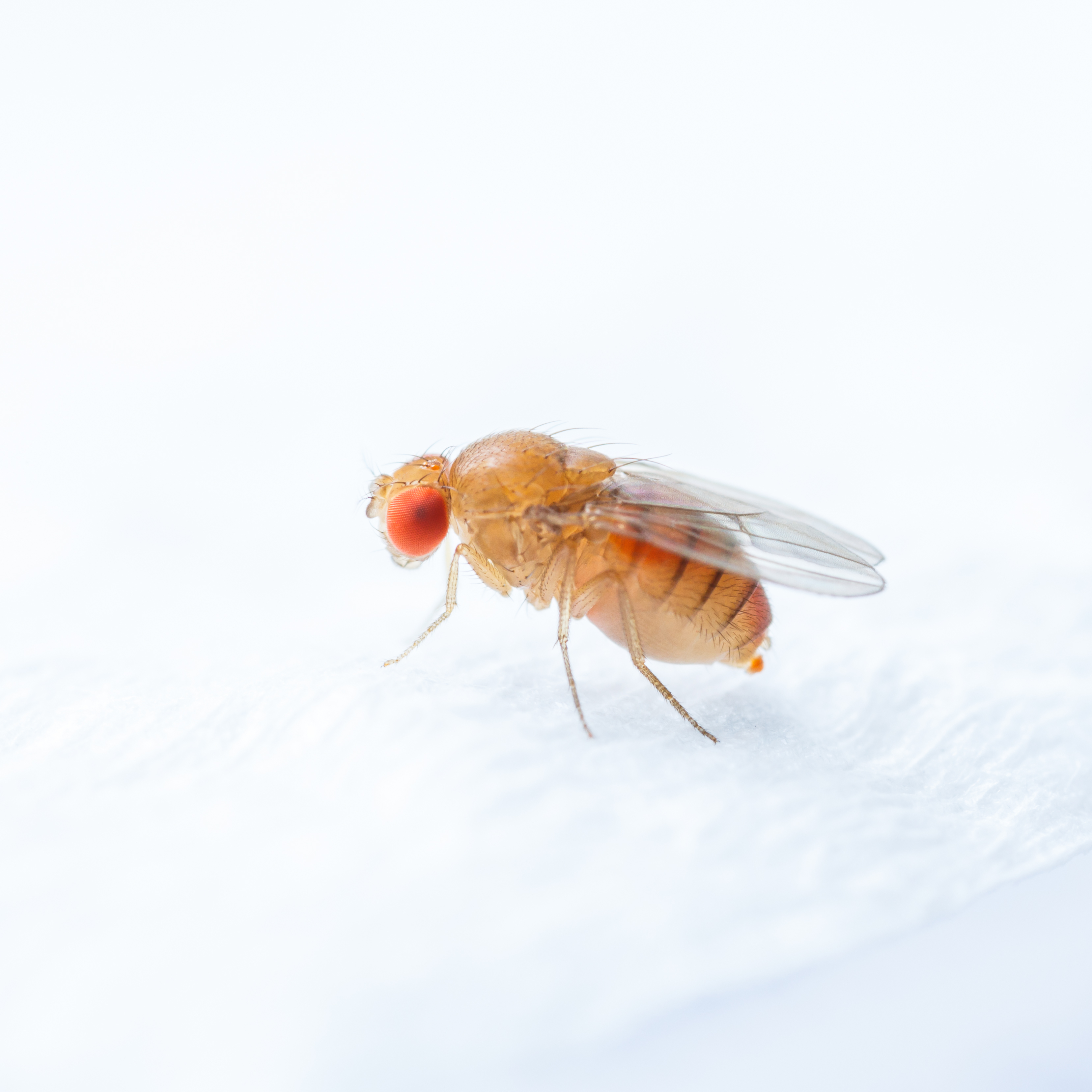 Bananflue - Drosophila melanogaster