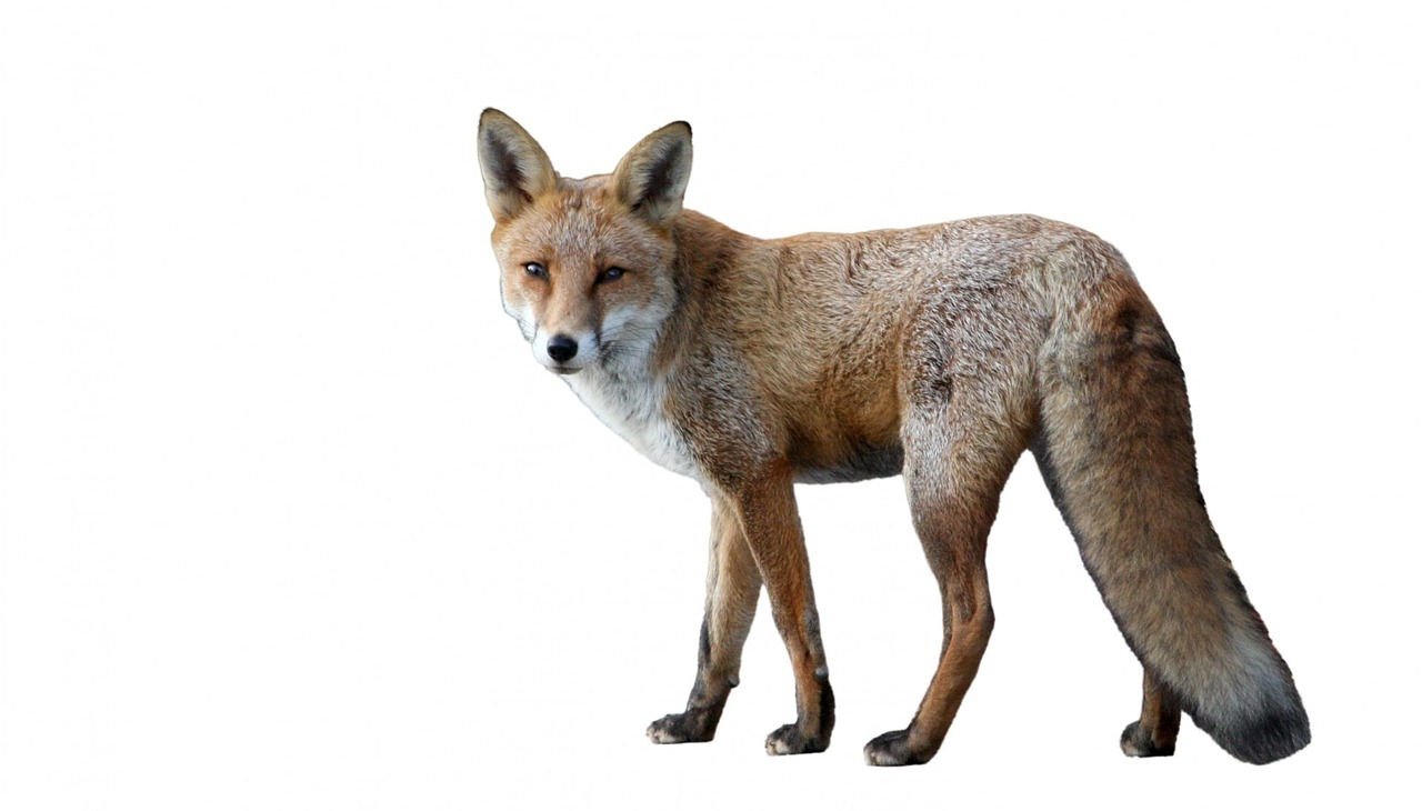 Raudrev (Vulpes vulpes)